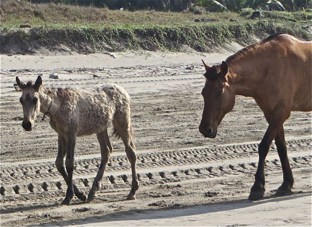 I don't know much at all about horses but this baby has large patched of thick fur all around it.  What made me wonder if it was a newborn is that the fellow herding the group was being very patient and carefully guiding his herd.  Normally they just trot to wherever they want to.