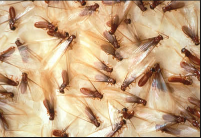 This is how they fly and often loose their wings and look like crawling ants.  Photo taken from Google.