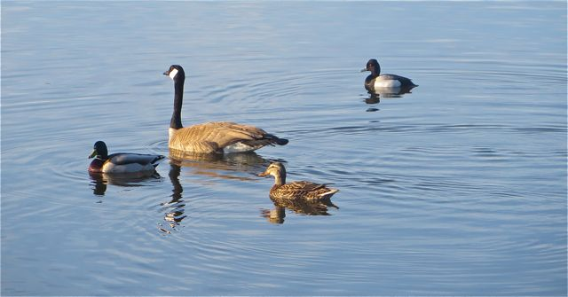 These are a constant foursome on the lake.  Strange mix.