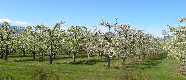 The apple orchards are in full bloom as are the lilacs.
