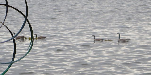 A quick and unfocused photo but all to the good, there are in fact, two geese families.