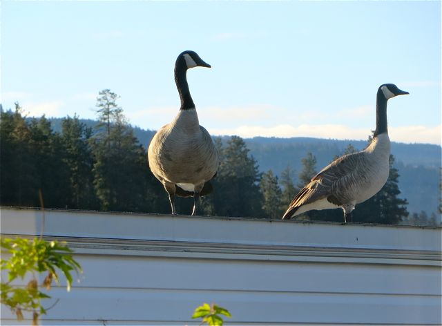 This time it's two of them on the roof next door and the neighbor was up also and chased them off.