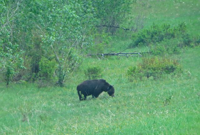 I can't believe we saw a bear  We think it was a grizzly.