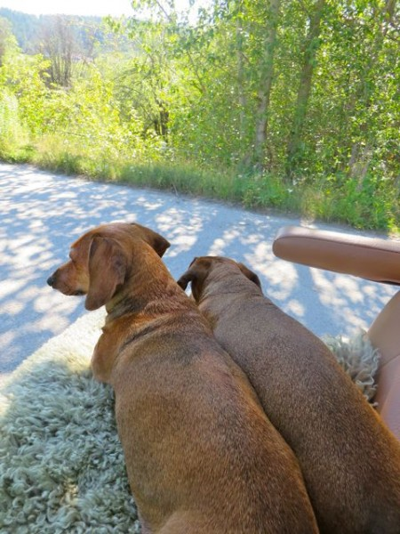 A few weeks ago when it was really hot I took the girls for a rid in the golf cart.  They love to sit and watch the world go by.  IF they had a choice they would prefer to be driven around every day.