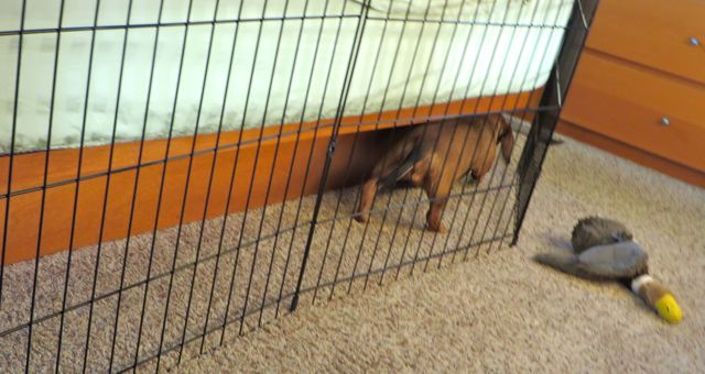 Yesterday I found Caeli going back & forth between the bed and the dog fence.  She somehow got in behind and was trapped.