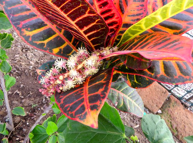 A gift to me from my croton.  I have never seen one flower before.