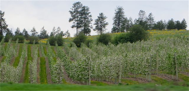 I have never seen the apple trees in bloom this early.