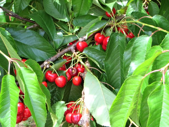 Cherries are for sale south of us but ours are another 6 - 8 days away.