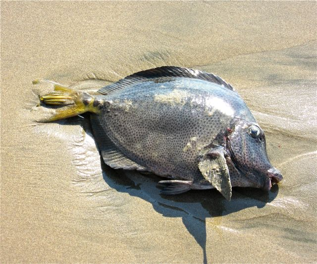 Saw this fish washed up on the beach the other day, no idea what it is.
